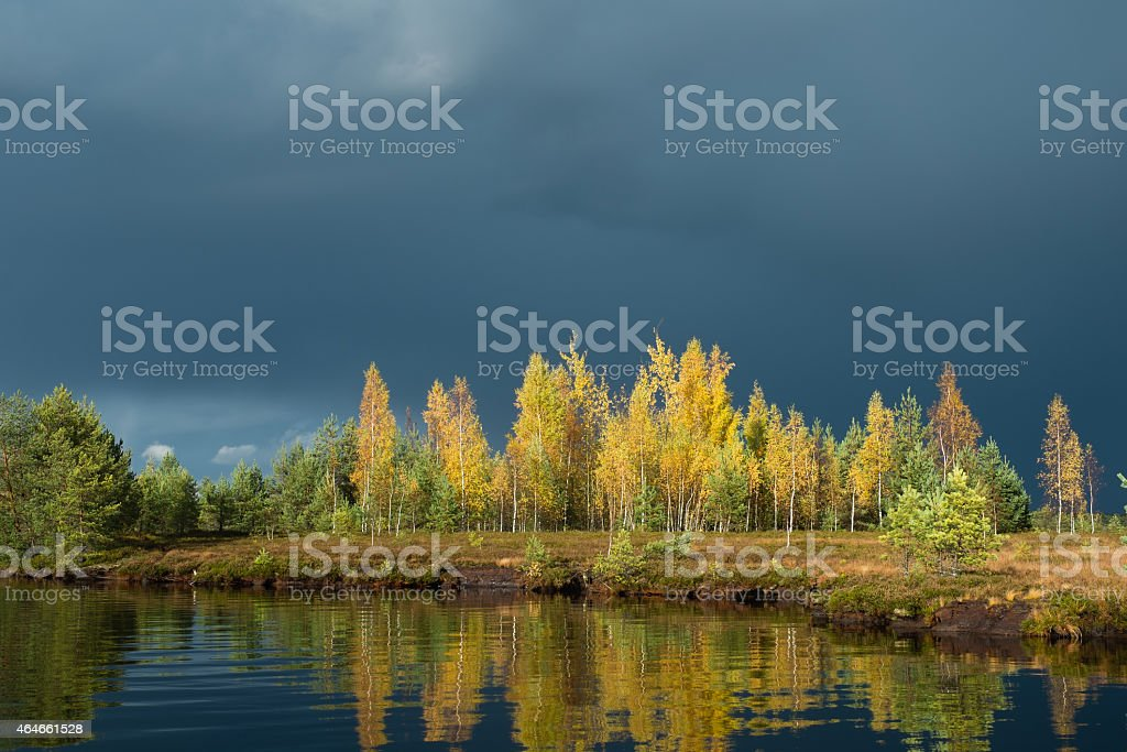 Birch trees in autumn stock photo
