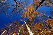 Detail of white birch tree forest.