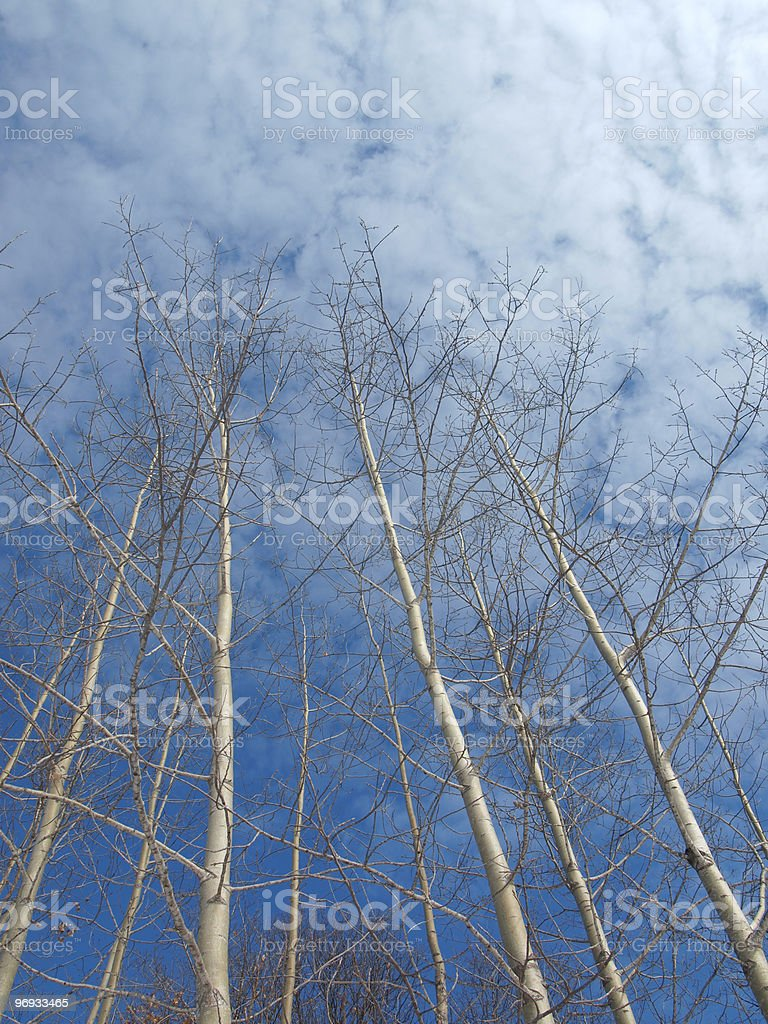 Birch Trees in Winter royalty-free stock photo