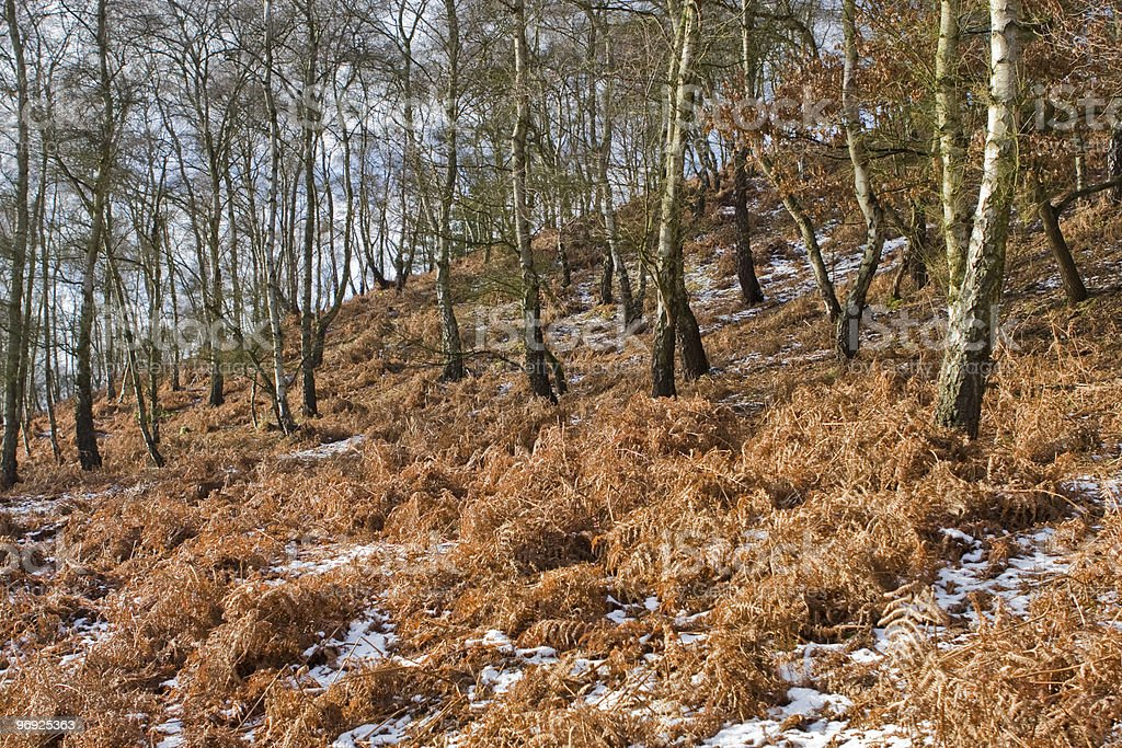 Birch trees on a hillside royalty-free stock photo