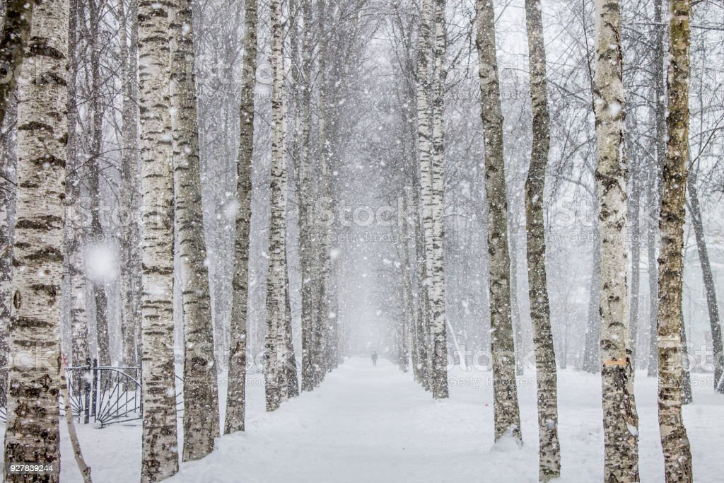 Birch trees path in .the park stock photo