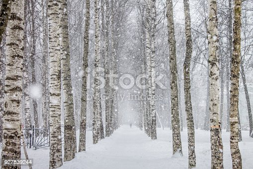 Birch Trees Path In The Park Stock Photo & More Pictures of Beauty