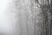 Birch forest in an early morning fog