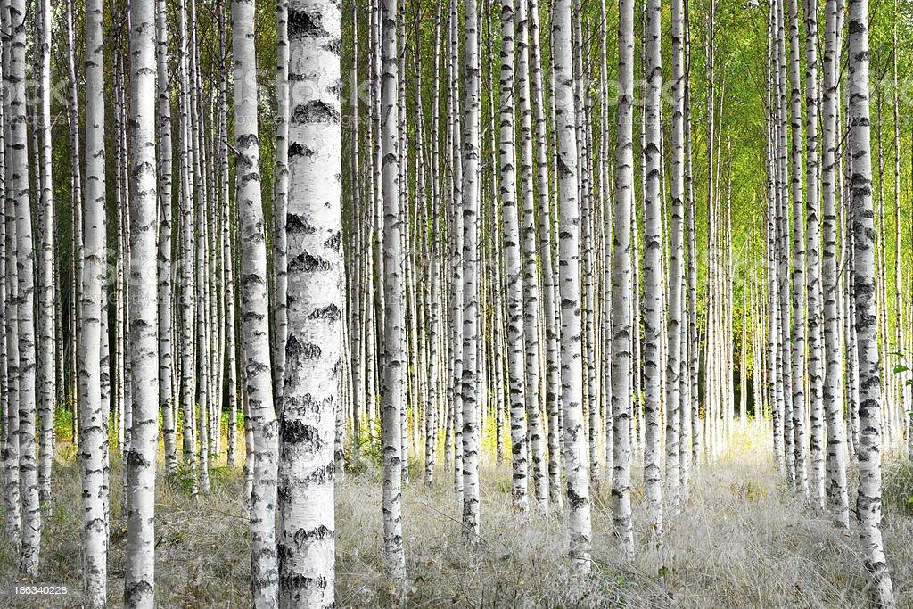 Salas Birch árboles - foto de stock