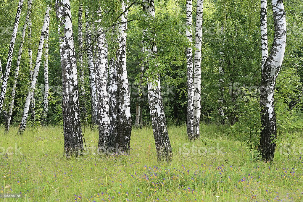 birch trees royalty-free stock photo
