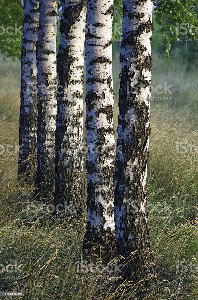 Birch trees trunk royalty-free stock photo