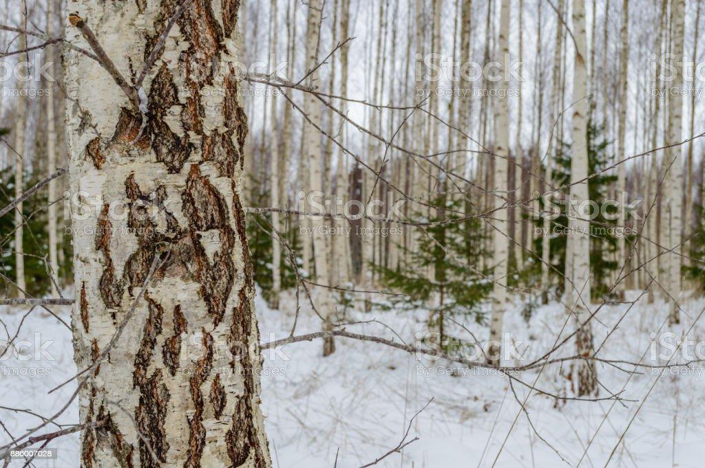 River Birch Tree Winter