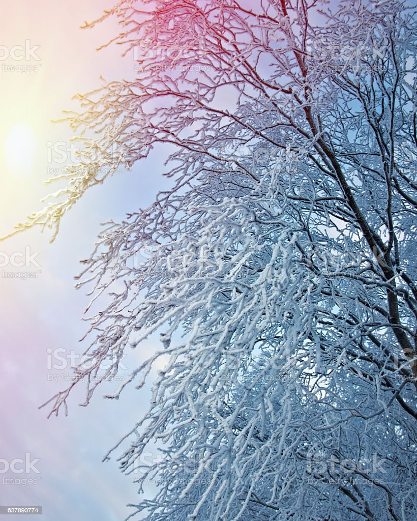 Birch trees with hoarfrost on the branches stock photo
