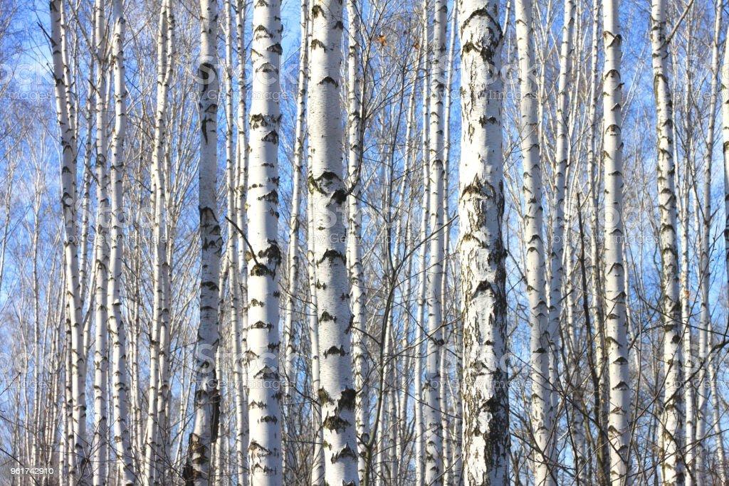 Baum mit weißer rinde