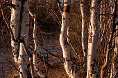 Birch trees without leaves in early spring. Small river flow across forest with light in sundown lights. March