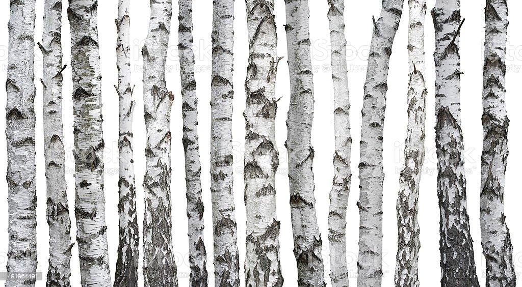 Birch trunks royalty-free stock photo