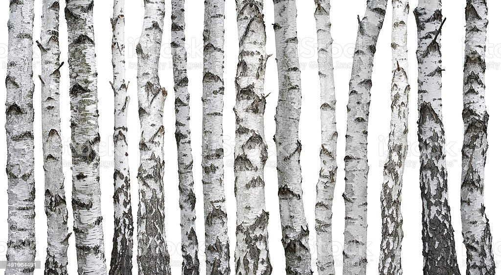 Birch trunks stock photo