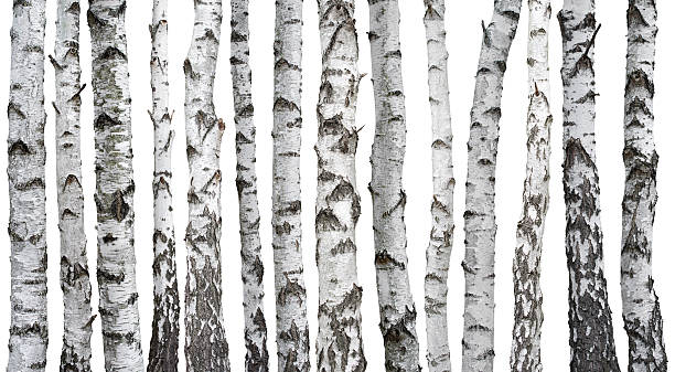 Short de Birch - Photo