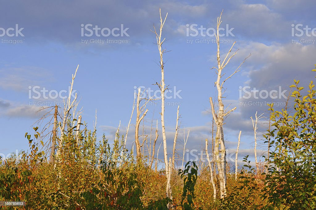 Birch Trunks silhouetted against the sky royalty-free stock photo
