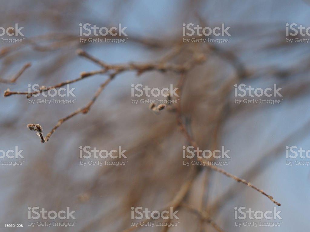 birch twig in winter royalty-free stock photo