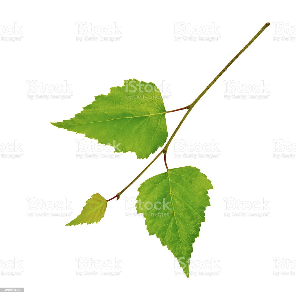 Birch twig with green leaves stock photo