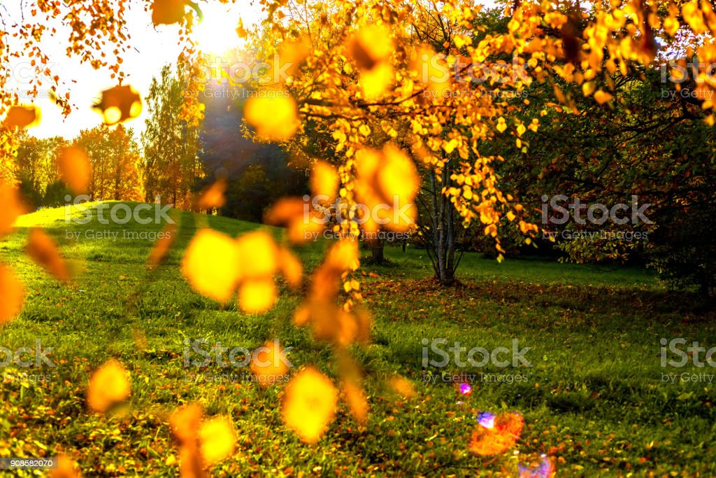 Birch twigs with colorful leaves on brulled autumn forest backround and blue sky.The sun's rays penetrate through the trees stock photo