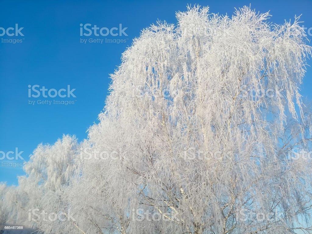 Birch winter white frost on a background of blue sky. foto de stock royalty-free