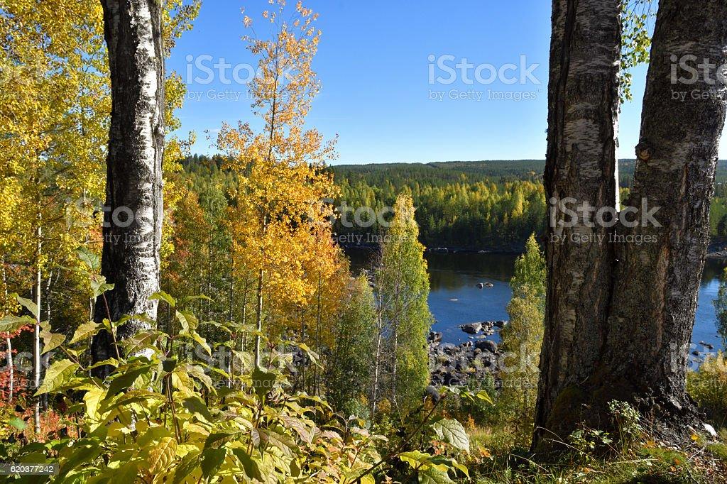 Birch with yellow leaf zbiór zdjęć royalty-free