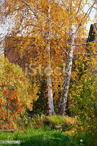birch with yellow leaves and sea buckthorn tree on the background of houses. Autumn