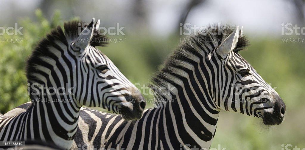 Die Birchell Zebra – Foto
