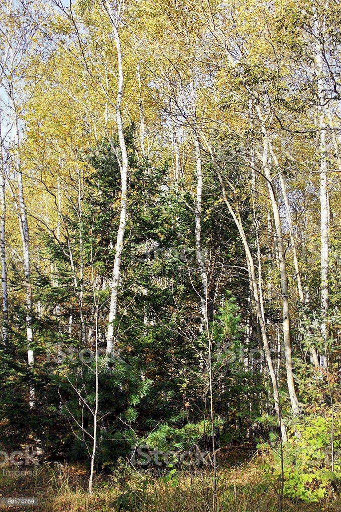 Birches 및 모피가-나무 royalty-free 스톡 사진