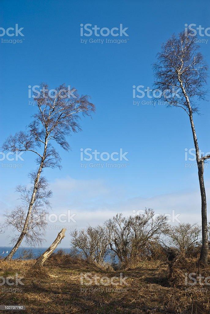 Birches at the Baltic Sea stock photo