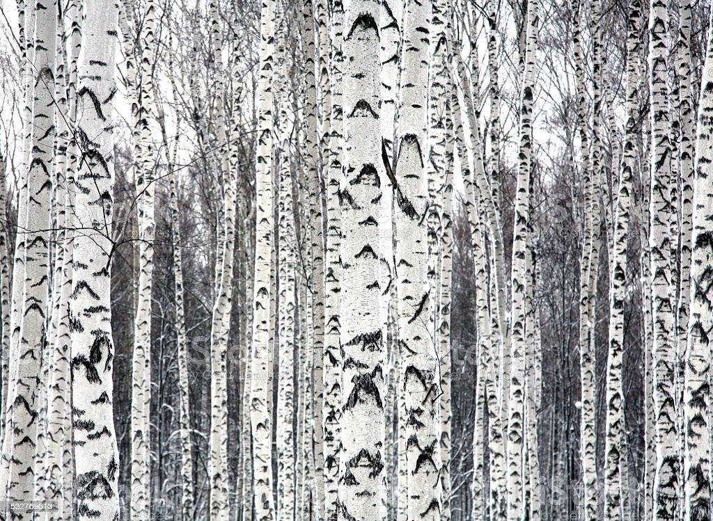 Birches black and white stock photo