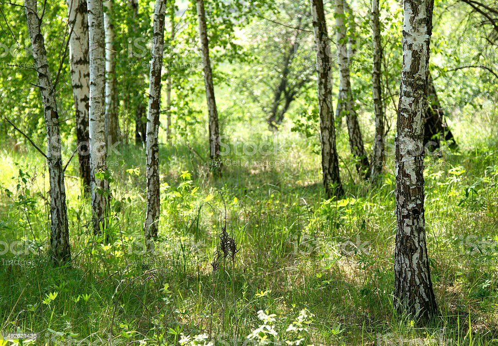 Birches, grass stock photo