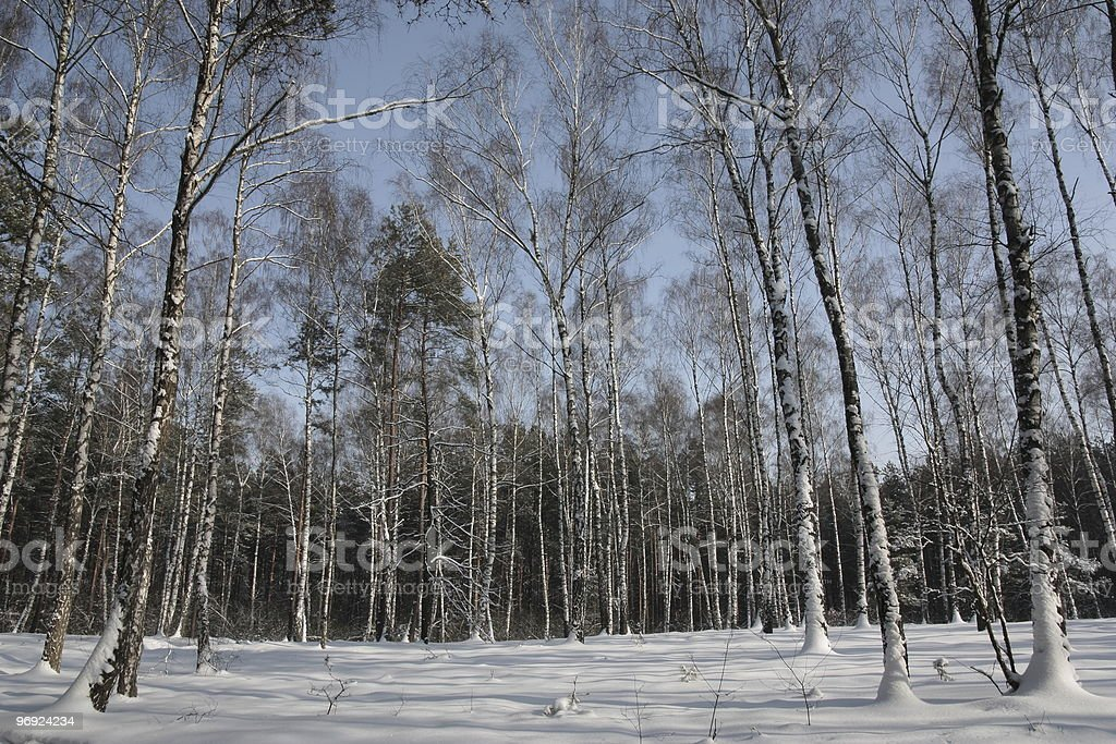Birches in the winter . royalty-free stock photo