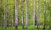 Spring forest. Grove with birches on a sunny day. Background image for design