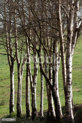Row of birches in Winter, green meadow background.