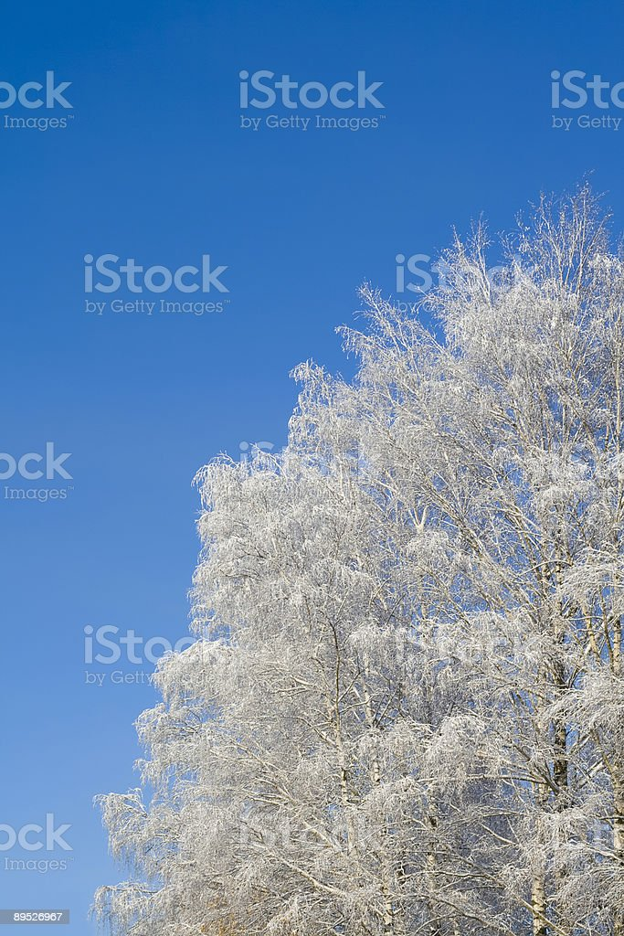 Birches royalty-free stock photo