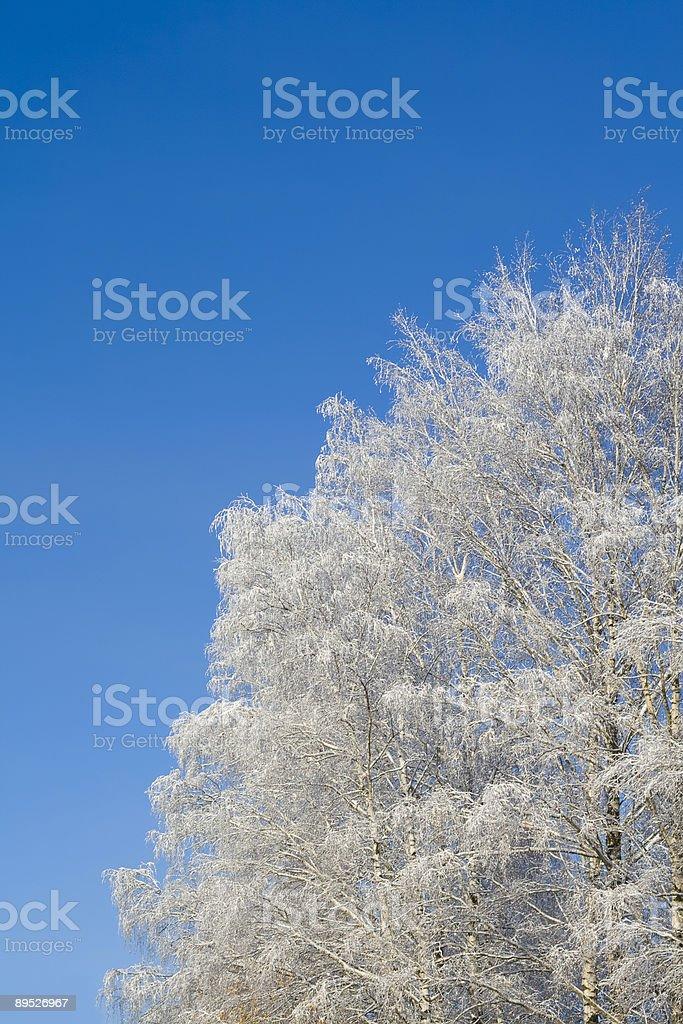 Birches 免版稅 stock photo