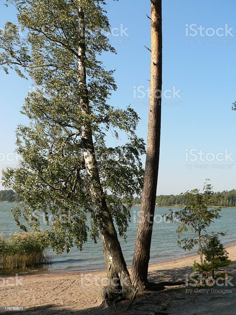 Birch+pine royalty-free stock photo