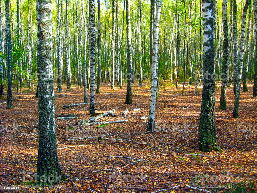 Birchwood in summer stock photo