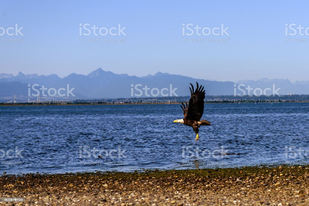A bird, a brown eagle with a white head flying over the earth, near the ocean stock photo