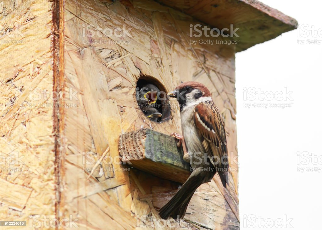 bird a Sparrow flew in your house and feeds the hungry just peeping little Chicks in the spring stock photo