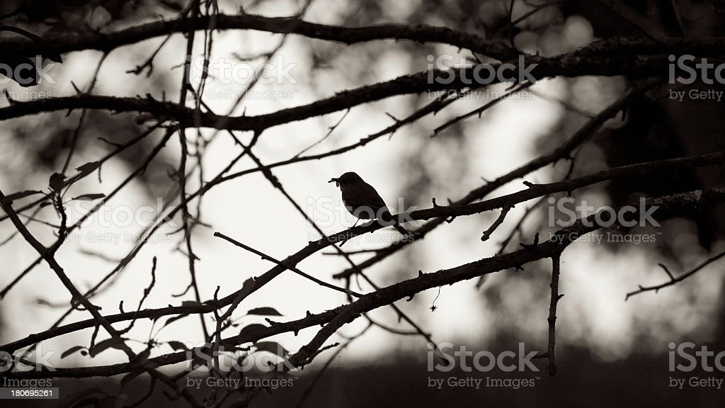 Bird, a Spotted Flycatcher in silhouette with fly in beak royalty-free stock photo