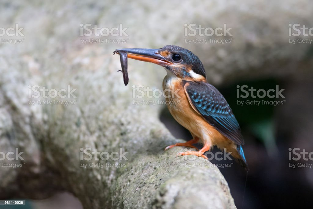 Adult female Blue-banded kingfisher , angle view, side shot, standing...