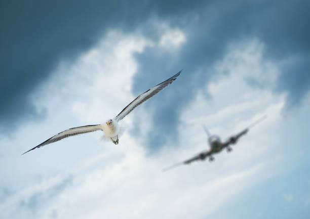 Bird and incoming airplane picture id942184510?b=1&k=6&m=942184510&s=612x612&w=0&h=lvmqxsgmqlignztlvcc8lsnoa3biqd9jddnzarvmala=