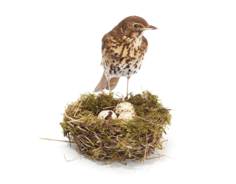 bird with nest and eggs