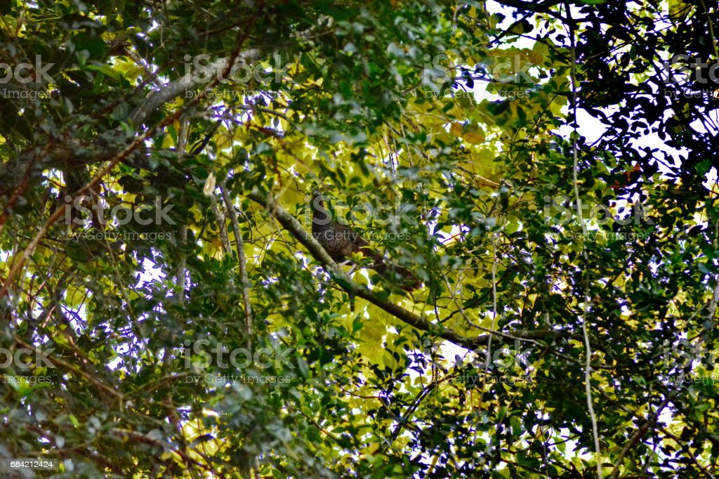 Bird Aracuã royalty-free stock photo