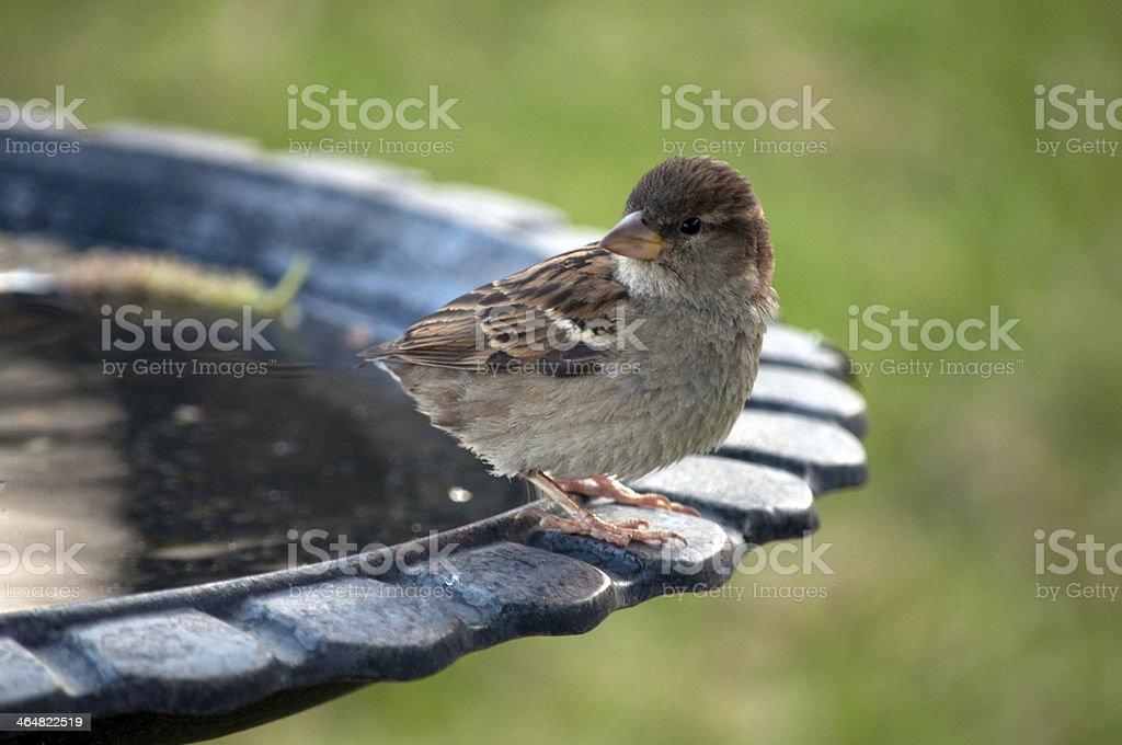 Bird at a Birdbath stock photo