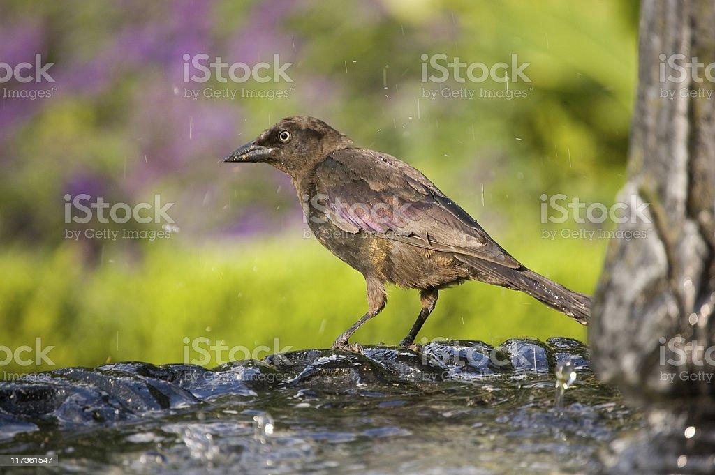 Bird at fountain royalty-free stock photo