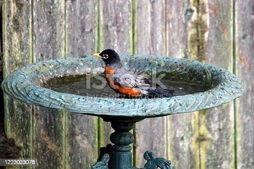 Backyard bird in a bird bath in spring