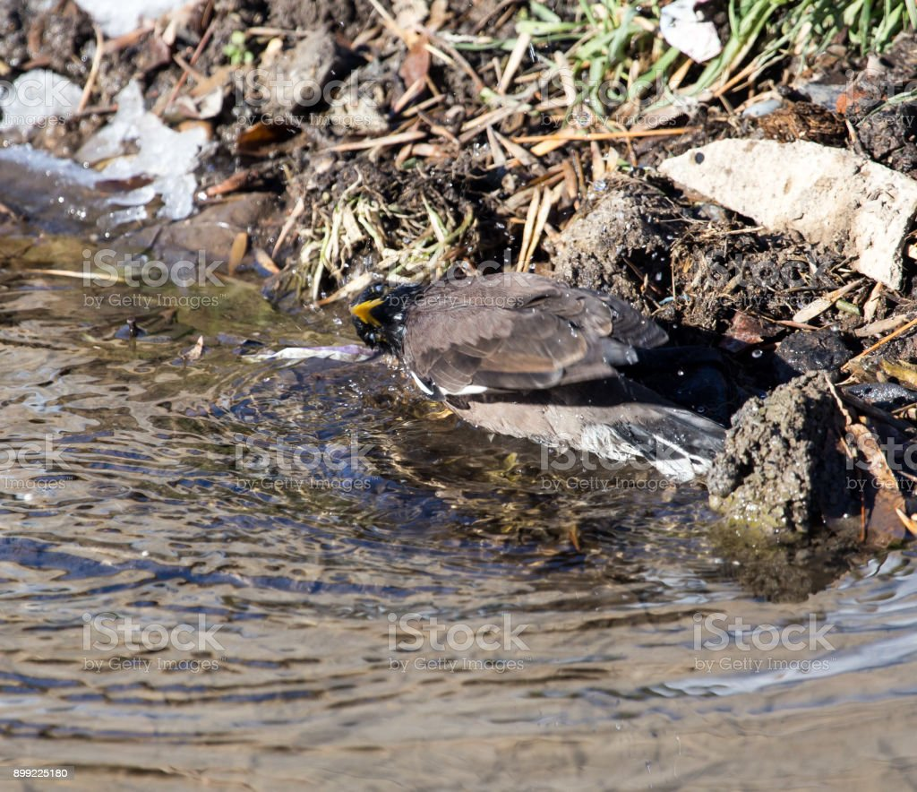 bird bathing in a puddle stock photo