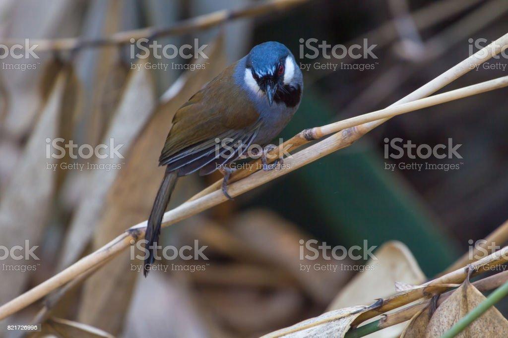 Bird Beautiful black-throated laughingthrush stock photo