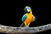 Bird Blue-and-yellow macaw standing on branches isolated black background.