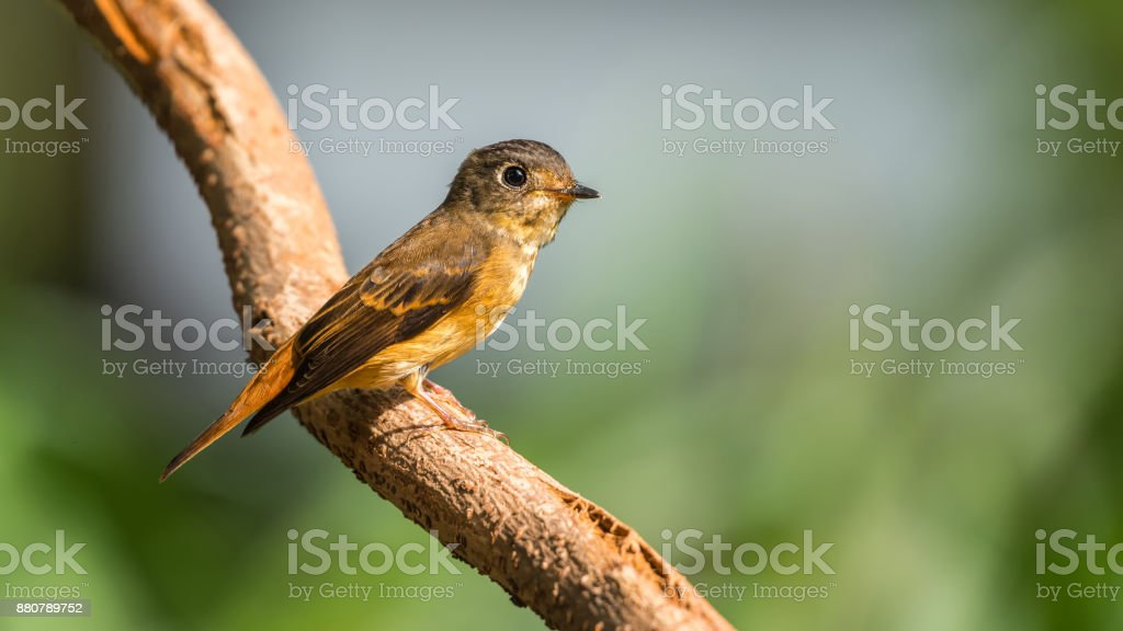 Bird (Ferruginous Flycatcher, Muscicapa ferruginea) brown sugar, orange and red color perched on a tree in a nature wild, Distribution Uncommon stock photo